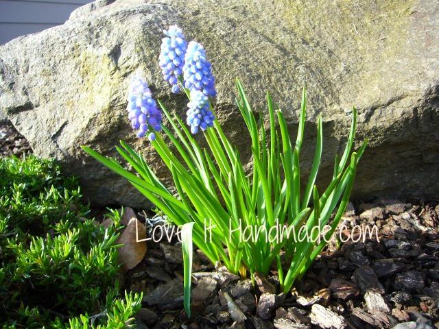 grape hyacinths1 4-3-13
